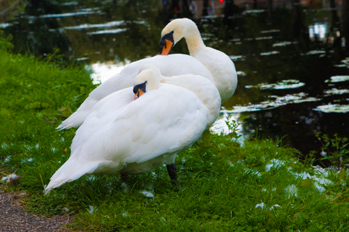 Swans alongside the Erewash Canal at Padmore Moorings